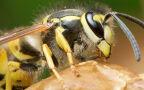 Uwaga na pszczoły, osy i szerszenie. Ich użądlenie może mieć poważne konsekwencje