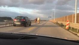 Konie biegały między autami