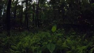 Baśniowa bioluminescencja. Taniec godowy świetlików
